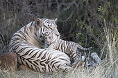 White Asian (Bengal) Tiger (Panthera tigris tigris), with young 3 months old, resting, Private reserve, South Africa