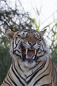 Asian (Bengal) Tiger (Panthera tigris tigris), resting, Private reserve, South Africa