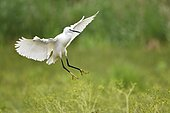 Little Egret (Egretta garzetta) in flight, France