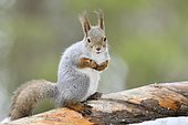 Eurasian Red Squirrel (Sciurus vulgaris) on a branch, Finland