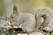Ecureuil roux (Sciurus vulgaris) sur une branche, Finlande