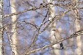 Geai des chênes (Garrulus glandarius) sur une branche, Finlande