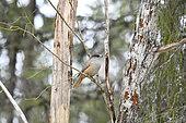 Siberian jay (Perisoreus infaustus) on a branch, Kuusamo, Finland