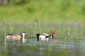 Red-crested Pochard (Netta rufina) couple in a marsh, France