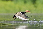 Red-crested Pochard (Netta rufina) taking off, France