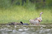 Egyptian Goose (Alopochen aegyptiaca) on the nest of Eurasian coot (Fulica atra), France