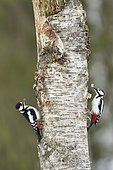 Great Spotted Woodpeckers (Dendrocopos major) on the trunk of a tree, Finland