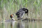 Great Crested Grebe (Podiceps cristatus) mating, France