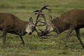 Two Red Deer stags fight during the rut in the Peak District National Park, UK.