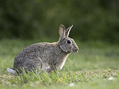 A Rabbit (Oryctolagus cuniculus) on the coast of Northumberland in the UK.