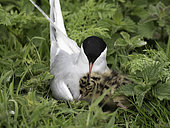 An Arctic Tern (Sterna paradisaea) cares for a Black-headed gull chick off the coast of Northumberland, UK.