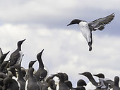 A Guillemot (Uria aalge) comes into land off the coast of Northumberland, UK.