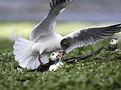 A Puffin (Fratercula arctica is mobbed by a Black-headed Gull (Chroicocephalus ridibundus) off the coast of Northumberland, UK.