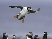 A Puffin (Fratercula arctica) comes into land off the coast of Northumberland, UK.