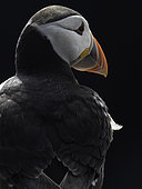 A Puffin off the coast of Northumberland, UK.