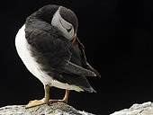 A Puffin (Fratercula arctica) off the coast of Northumberland, UK.