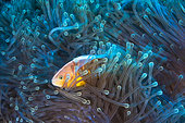 Skunk clownfish (Amphiprion akallopisos) its anemone, Mayotte