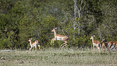 Common Impala (Aepyceros melampus) running and jumping in Kruger National park, South Africa