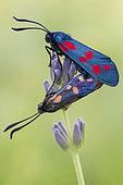 Six-spot Burnet (Zygaena filipendulae), adults mating, Campania, Italy