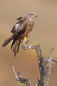 Black Kite (Milvus migrans), Adult perched on a dead tree, Basilicata, Italy