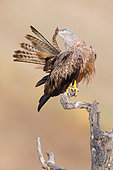 Black Kite (Milvus migrans), Adult preening on a dead tree, Basilicata, Italy
