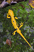 Fire Salamander (Salamandra salamandra gigliolii), adult on the ground view form top, Calvanico, Campania, Italy