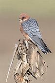 Faucon kobez (Falco vespertinus) femelle sur un plant de maïs sec, Campanie, Italie