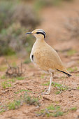 Cream-colored Courser (Cursorius cursor), side view of an adult standing on the ground in its typical habitat, Draâ-Tafilalet, Morocco