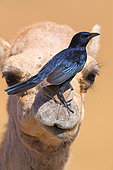 Tristram's Starling (Onychognathus tristramii), adult perched on a Dromedary Camel, Dhofar, Oman