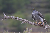 Goshawk (Accipiter gentilis) coming to rest on a branch with Red Partridge in talons, France