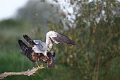 Montagnu's Harrier (Circus pygargus) mating on a branch, France