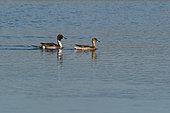 Canard pilet (Anas acuta) couple sur l'eau, Estuaire de la Loire, France