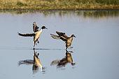 Canard pilet (Anas acuta) couple se posant sur l'eau, Estuaire de la Loire, France