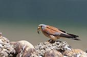 Faucon crécerellette (Falco naumanni) mâle avec une courtilière dans le bec, réserve nationale des Coussouls de Crau, Bouches du Rhône, France