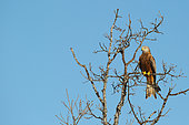 Red Kite (Milvus milvus) on a tree, Charente-maritime, France