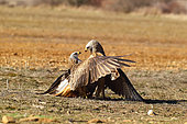 Red kite (Milvus milvus) fighting on the ground, France