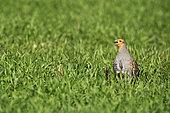 Grey partridge (Perdix perdix) on grass, Normandy, France