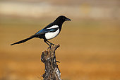 Magpie (Pica pica) on a trunk, Spain