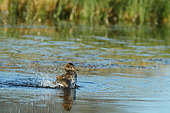 Common Teal (Anas crecca) female snorting, Mont Saint Michel Bay, France