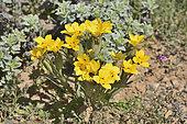 Blue-Eyed Grass (Sisyrinchium graminifolium), Iridaceae indigenous to Chile, ca. of Mantos of Hornillos, IV Region of Coquimbo, Chile
