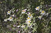 Poor's Orchid (Schizanthus tricolor), Solanaceae endemic to central Chile, Palmas de Ocoa Sector, La Campana National Park, V Valparaiso Region, Chile