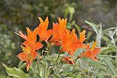 Flor del gallo (Alstroemeria ligtu ssp simsii), Alstroemeriaceae endemic to Chile, Sector Cajón Grande, Parque nacional La Campana, V Valparaiso Region, Chile