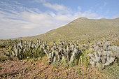 Tunilla (Miqueliopuntia miquelii), Cactaceae indigenous to Chile, ca. of Freirina, III Region of Atacama, Chile