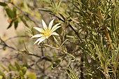 Clavel del campo amarillo (Mutisia rosea), Asteraceae endemic to central Chile, Portezuelo de Ocoa to Las Palmas, National Park La Campana, V Region of Valparaiso, Chile