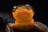 Roughskin newt (Taricha granulosa)