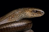 Blue-spotted slow worm (Anguis colchica)
