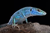 Blue wall lizard (Podarcis sicula coerulea)