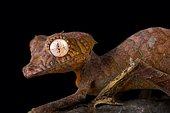 Spearpoint leaf-tailed gecko (Uroplatus ebenaui)