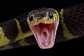 Mangrove snake (Boiga dendrophila dendrophila)