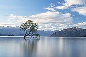 Wanaka Ttree, lonely tree in water, Lake Wanaka, South Island, New Zealand